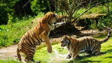 Endangered tiger cubs enjoy water fight during lockdown