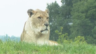 A lion at Whipsnade Zoo