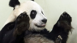 Edinburgh Zoo on alert for historic panda baby birth