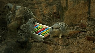 Meerkats are counted during the annual stocktake.