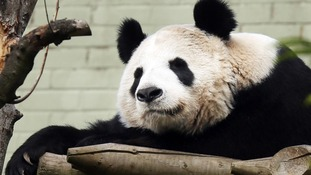 Tian Tian, in her enclosure.