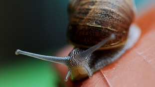 Scientists recommend throwing snails the length of a cricket pitch to save prized plants