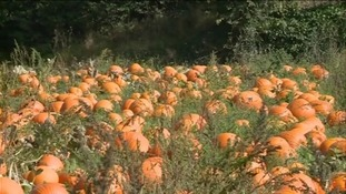 Hundreds of pumpkins have added an early splash of colour to Chris Seager's farm in Somerset