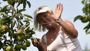 A Polish worker thins trees in the Braeburn apple orchard at Stocks Farm in Worcestershire to improve the size and quality of the fruit so they are ready for harvest.