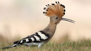 A Hoopoe has been spotted at Slimbridge this morning after getting lost on migration
