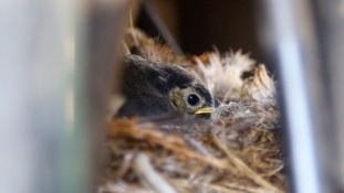 Wagtail chick in nest.