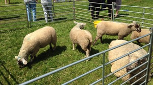 Sheep grazing on Durdham Downs