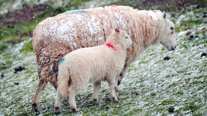 Image result for wales ewe