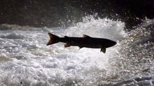 Salmon, trout, and other types of fish have died.
