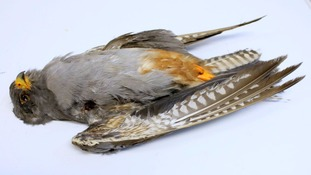 The protected bird of prey was found dead near Whittlesey in Cambridgeshire in October.