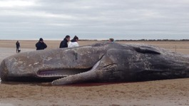 Sperm whale stranded on Norfolk beach dies
