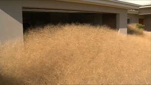 The 'hairy' Panicum grows rapidly and forms tumbleweeds from the dead grass.
