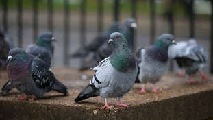 Pigeons are being used to monitor fumes as they fly